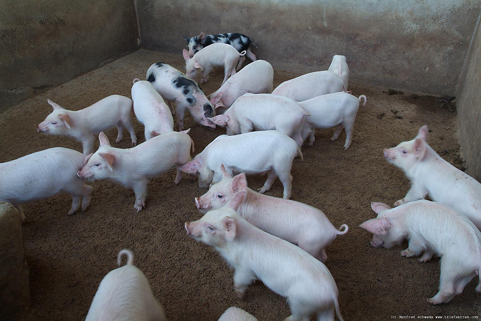 Farm Hog Farm-hogs-4
